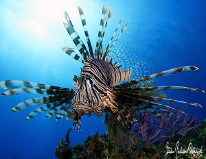 This Lionfish is out on the reef, under the sun in search... by Steven Anderson