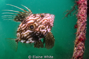 John Dory on the wreck of the Fleur d Llys, Swanage by Elaine White
