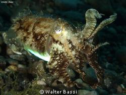 Cuttlefish by Walter Bassi