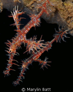 Pair of Ghost Pipefish by Marylin Batt