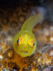 Goby, Seraya. by Doug Anderson