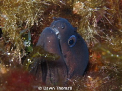 Moray Eel at the Inland Sea on Gozo, Maltese Islands. by Dawn Thomas