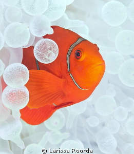 Tomato Clownfish in White anemone. by Larissa Roorda
