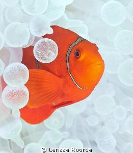 Tomato Clownfish in White anemone. by Larissa Roorda
