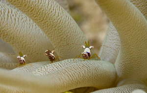 Three of a kind beats a full house.  Squat anemone shrimp by John Roach