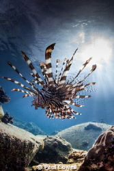 majestic lion fish on the prowl by Paul Cowell