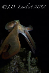 I did my first night dive with a camera this evening. I w... by Joseph Lambert