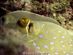 Blue spotted stingray eyes by Laura Dinraths