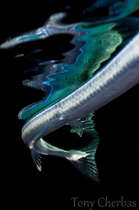 Serpentine: Needle Fish Tail and Reflection by Tony Cherbas