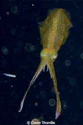Squid at night in stand off pose.