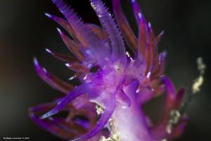 Flabellina affinis by Raffaele Livornese