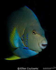 Blue Angelfish swimming out in the blue, hiding before fo... by Ellen Cuylaerts