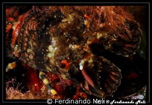 Slipper lobster by Ferdinando Meli