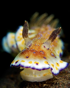 """Chromodoris collingwoodi"" by Henry Jager"
