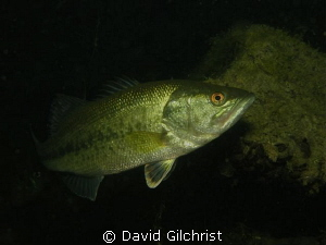 Bass in local quarry. by David Gilchrist