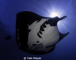 Manta ray by Tom Meyer