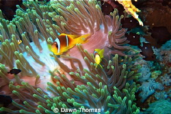 Magnificent Anemone, Anemone Fish and Fire Coral - Photo ... by Dawn Thomas