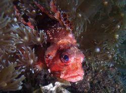 Colourful Lionfish hiding among anemonies. Olympus C-505... by Erika Antoniazzo