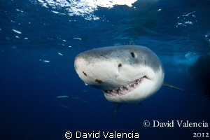 A dark day at Guadalupe. This shark got very close... by David Valencia