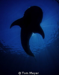 Whale shark Silhouette by Tom Meyer