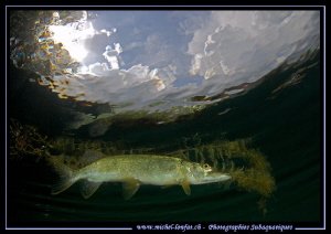 Pike Fish - Pike Pond... Day dive... ;O)... by Michel Lonfat