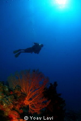 Sea fan and diver by Yoav Lavi