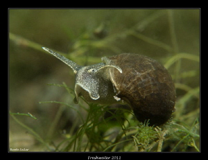 Frehwater snail by Beate Seiler