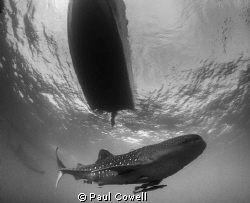 whale shark and a boat above by Paul Cowell