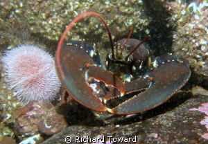Lobster, taken on Canon A570is with Epoque Strobe. by Richard Toward
