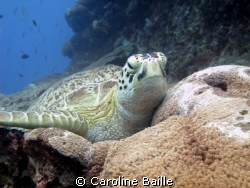 Hawksbill Turtle sitting on the reef by Caroline Baille