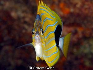 Bluelined Butterflyfish by Stuart Ganz