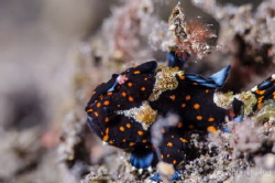 Juvenile Painted Frogfish @Tulamben by Sherry Hsu