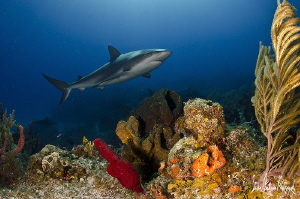 Reef Shark at Shark Paradise off the Bahamas by Steven Anderson