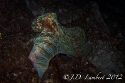 Octopus shot from a night dive. by Joseph Lambert