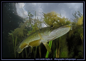 Pike Fish... by Michel Lonfat