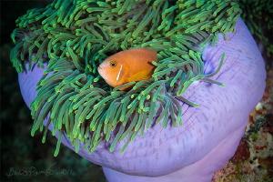 sad clown / Anemone fish / Maldives Clown  by Boris Pamikov
