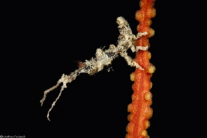 arcturid isopod (Astacilla mediterranea) living on Lophog... by Mathieu Foulquié