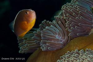 Pink anenome fish and anenome by Graeme Cole