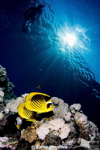 Butterfly fishes with sunburst by Pietro Cremone