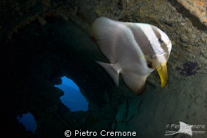 Batfish in the Thistlegorm wreck by Pietro Cremone