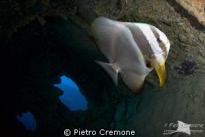 Batfish in the Thistlegorm wreck by Pietro Cremone