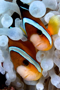 Lovely couple Anemonefishes