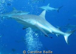 grey reef shark  by Caroline Baille