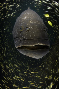 "BFG "" Big Friendly Grouper""  Navy Pier-Exmouth Gulf WA ... by Violeta Jahnel"