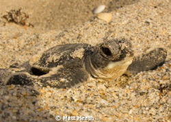 Green Sea Turtle Hatchling Only Moments After Coming Out ... by Matt Heath
