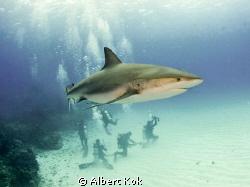 carribean reef shark with divers below by Albert Kok