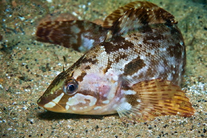 Brown Greenling or Alaska Greenfish ...because of meat ha... by Boris Pamikov