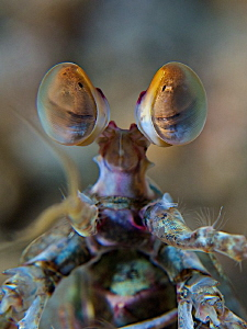 Eyes of Mantis Shrimp by Iyad Suleyman
