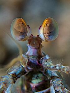 Eyes of Mantis Shrimp by Iyad Suleyman