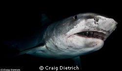 Tiger Shark in the Bahamas. Shot with a Canon 7D with a N... by Craig Dietrich